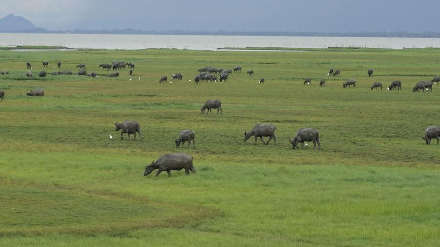 Herd of domestic animals grazing on meadow
