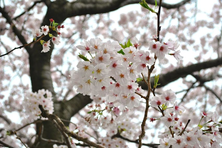 Beauty In Nature Blossom Botany Branch Cherry Blossom Cherry Tree Day Flower Flower Head Fragility Freshness Growth Low Angle View Nature No People Outdoors Petal Springtime Tree White Color Postcode Postcards