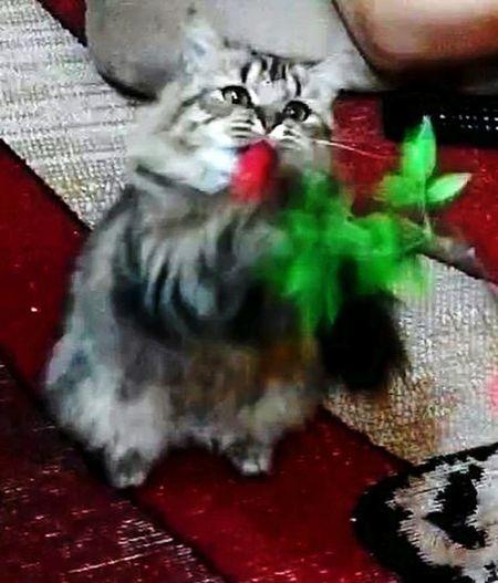 Mozza Jin Hee Cat♡ Persian Girl Persian Cat  Belang Kesayangan 😍
