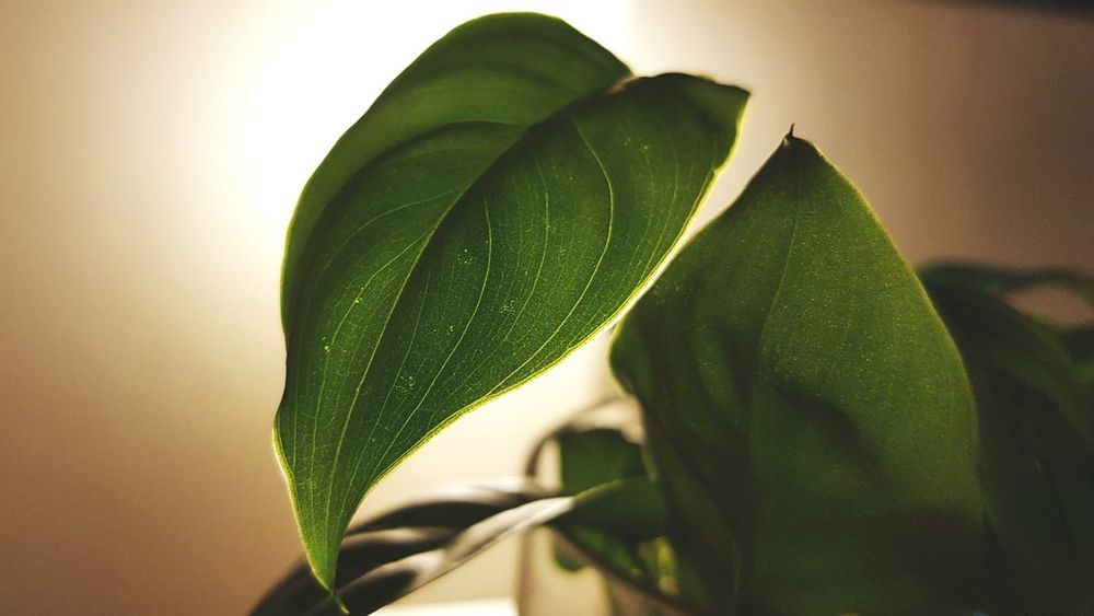 water plant leaves close up Roots And Branches Roots Of Life Roots Of Tree Leaves🌿 Green Life Home Decor Home Interior Plants Indoors  Leaf Green Color Plant Nature Growth Close-up No People