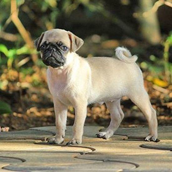 Jainy Pug Puppy Cute Naughty Love You