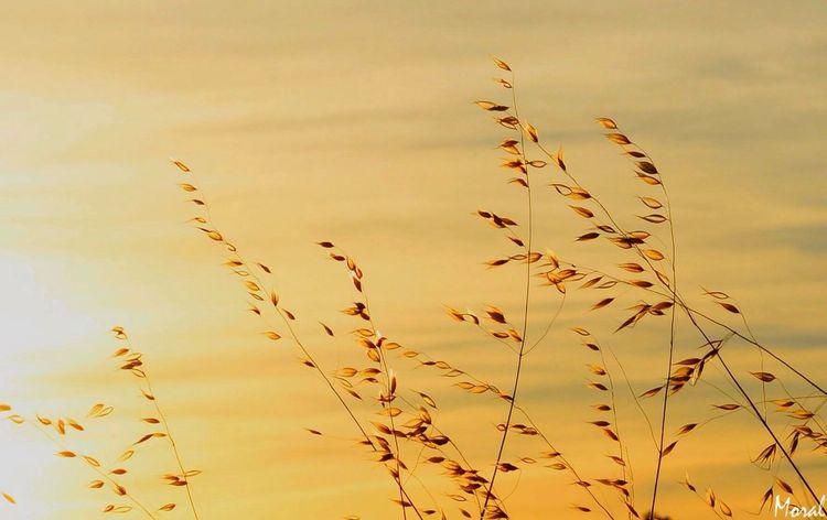 Atardecer Growth Plant Sunset Tranquility Sky Nature Focus On Foreground Yellow