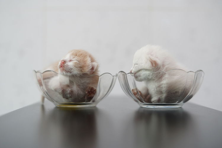 White cat in glass on table