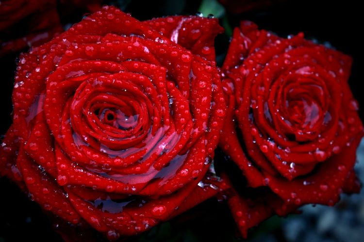 Red No People Close-up Nature Water Beauty In Nature Outdoors Freshness Roses🌹 Roses, Flowers, Nature, Garden, Bouquet, Love, Red Flower EyeEmNewHere