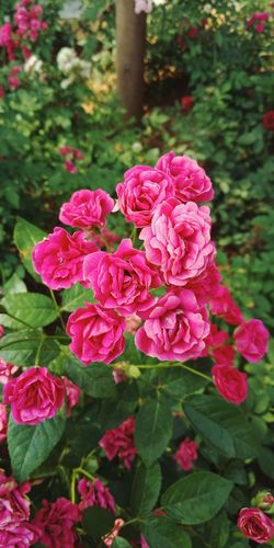 Small Roses