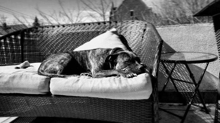 sunbathing puppy Bff❤ Beastie Bestie Pitbull Love Trees Park depth of field Backyard City Weather Queens NYC City Life NYC Queens