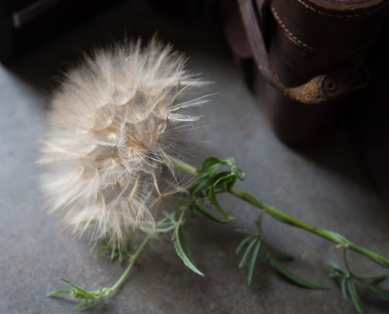 Beauty In Nature Close-up Dandelion Dandelion Seed Day Feather  Flower Flower Head Flowering Plant Focus On Foreground Fragility Freshness Growth Indoors  Nature No People Plant Selective Focus Softness Still Life Vulnerability  White Color The Still Life Photographer - 2018 EyeEm Awards