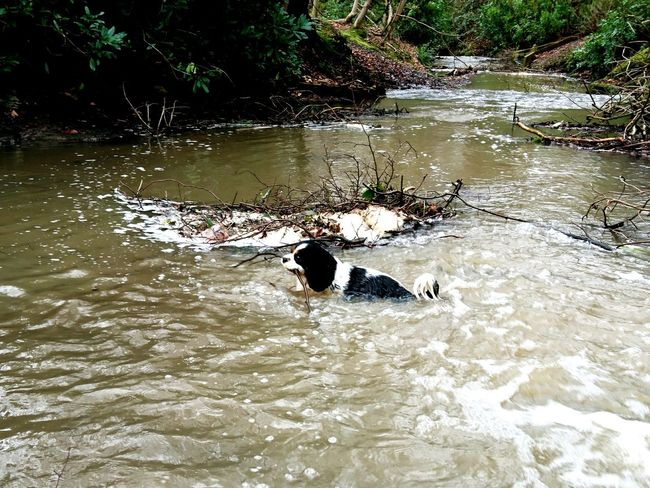 Animal Themes Water Nature Outdoors No People Swimming Mammal Day Arrowe Park Wirral Cavalier King Charles Spaniel Dog Arrowe Brook