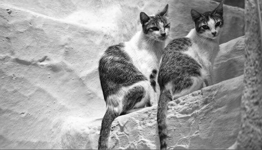 Low Angle View Pets Double Trouble Streetphoto_bw Cat Streetphotography Streamzoofamily Black & White Photography Close-up