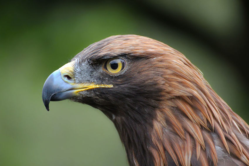Alertness Animal Animal Head  Animal Themes Animals In The Wild Beak Bird Bokeh Close-up Curiosity Eagle Eye Eye4photography  EyeEm EyeEm Nature Lover Flying Focus On Foreground Golden Eagle Green No People One Animal Relaxing Selective Focus Softness Wildlife