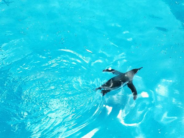 Humboldt Penguin Penguin Swimming Swimming Penguin HuaweiP9 Mobilephotography Nature Photography Ripples Turquoise Water Huaweiphotography Huawei Naturelovers Nature_collection Animals Bird Photography Colour Of Life IMography Color Palette Gliding Blue