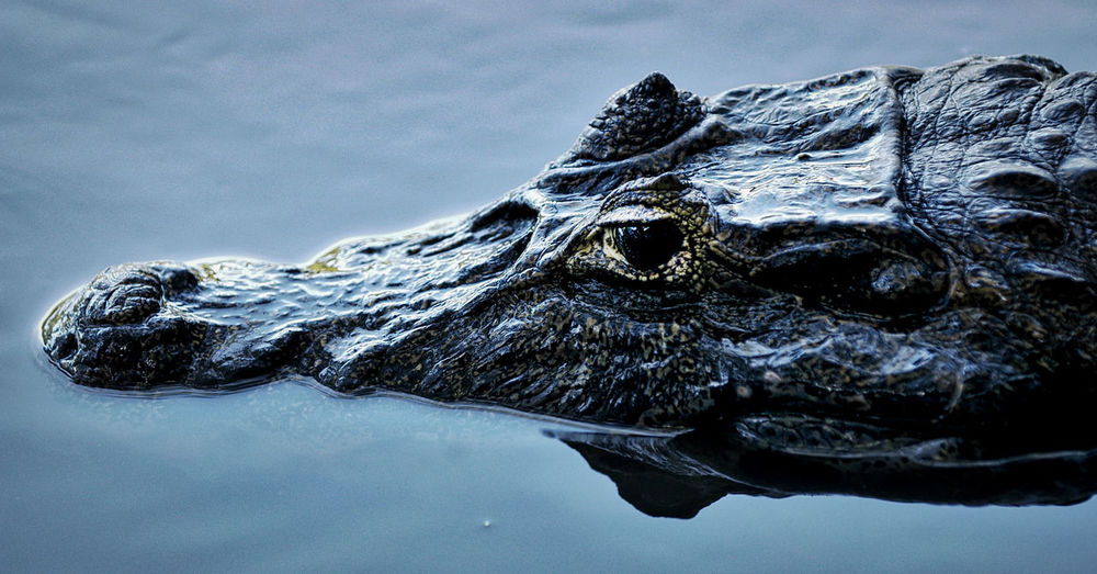 Close-up of crocodile in a lake