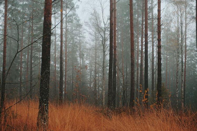Pine trees in autumnforest