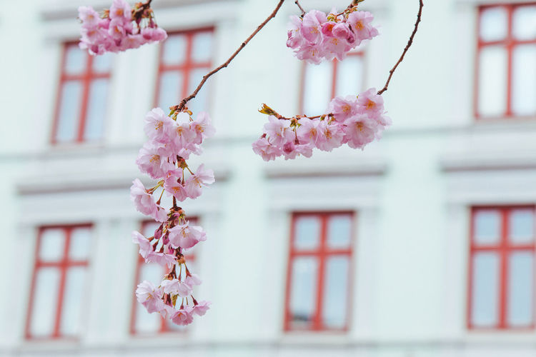 Close-up of pink cherry blossoms against building