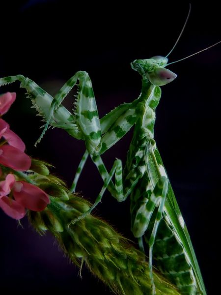 First Eyeem PhotoInsect Wildlife Nature_collection Mantis Collections Macro Photography Dark Background Close-up Beautiful Animals Antique Rareinsect Stagephotography Sale For Sale Animals In The Wild Animal Wildlife Jakarta Indonesia