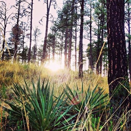 Forest Lincoln National Forest Sunburst Yucca Trees Hiking