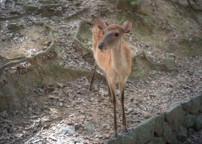 Young deer in Nara, Japan. Baby Deer Japan Nara Nara,Japan Animal Wildlife Animals In The Wild Arid Climate Day Field Full Length Herbivorous High Angle View Land Looking At Camera Mammal Nature No People One Animal Outdoors Portrait Softness Standing Vertebrate Young Animal