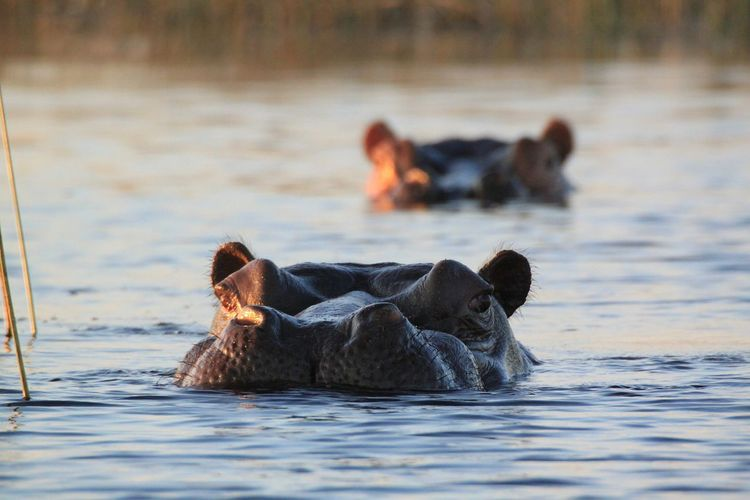 Hippopotamus Hippo Water Taking Pictures Taking Photos African Beauty African Nature Nature Beauty In Nature Beautiful Nature Wildlife & Nature Wildlife And Nature Wildlife Photography Wildlifephotography Wildlife Photos Animal Photography Wildlife_shots Wildlife EyeEm Nature Lover EyeEm Eye4photography  EyeEm Gallery