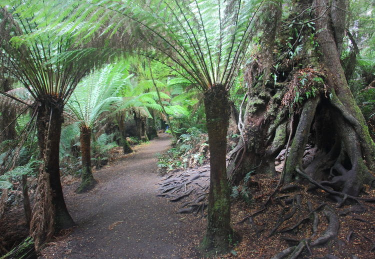 The forest trail passing through giant ferns and tree with hollow, gnarled roots in Maits Rest in Cape Otway at along the Great Ocean Road in Victoria, Australia. Australia Australian Landscape Cape Otway Great Ocean Road Great Ocean Road, Australia Maits Rest Rainforest Walk Tranquility Travel Victoria Australia Beauty In Nature Forest Gnarled Tree Growth Maits Rest Nature Palm Tree Plant Tranquil Scene Tranquility Travel Destinations Tree Tree Trunk