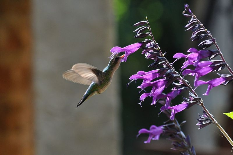 Close-Up Of Hummingbird Feeding On Purple Flowers