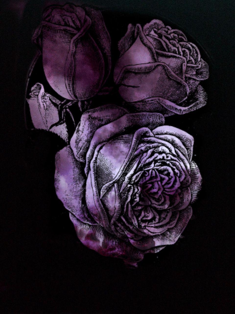 studio shot, black background, flower, rose - flower, no people, close-up, petal, flower head, fragility, nature, indoors, freshness, day