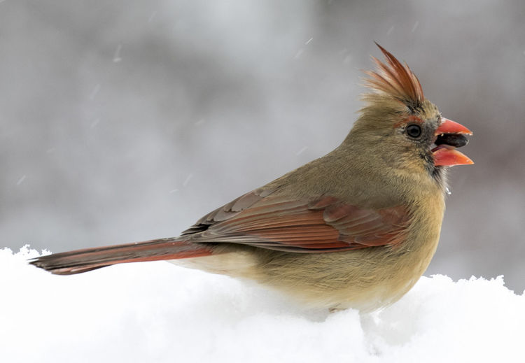 Female Cardinal Northern Cardinal Female Animal Themes Animals In The Wild Bird Close-up Cold Temperature Nature No People One Animal Outdoors Perching Snow Winter
