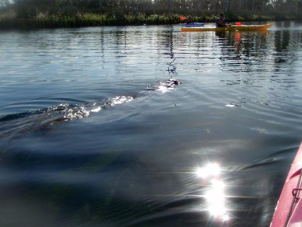 Kayaking Manatee Manatees Florida Wildlife Florida Kayak Kayaker Animals In The Wild