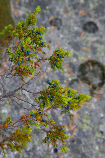 Juniper Plant Growth Day Selective Focus Nature No People Tree Focus On Foreground Outdoors Close-up Beauty In Nature Freshness Plant Part Green Color Flower Flowering Plant Leaf High Angle View Lichen Branch Norway