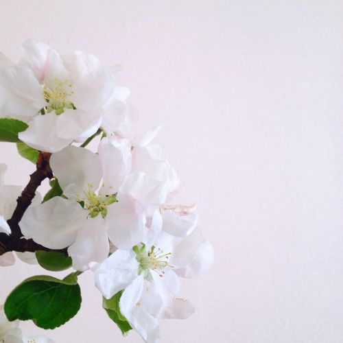 Blooming Apple Tree White Flower Colour Of Life
