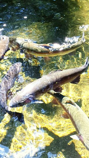 Bonneville Dam Oregon Fish Hatchery Rainbow Trout