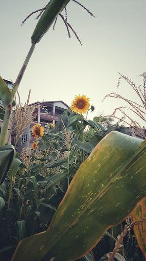 🌻 Leaf Sky