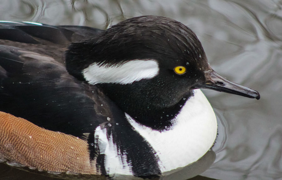 Animal Themes Animal Wildlife Animals In The Wild Bird Black Color Close-up Day Hooded Merganser Nature No People One Animal Outdoors