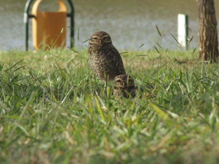 Pet Portraits Bird Grass Nature Owl Animals In The City First Eyeem Photo