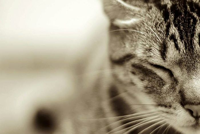 Henkins Henkins Domestic Cat Mammal One Animal Animal Themes Pets Domestic Animals Close-up Feline Whisker No People Cat Animal Eye Day Closeup Nose Face CatLadyForlife Catlady Mycat❤ Catsrule Follow4follow Followforfollow Followmeplease Meow🐱