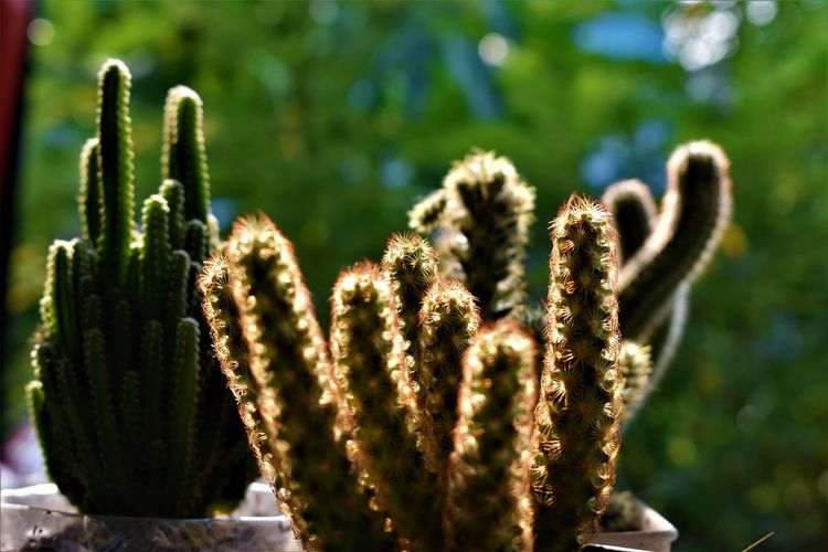 tropical tiny pottery cacti on green leaves background Cactus Cacti Sunlight Green Bacground Sunshine Green Background Plants Tiny Pottery