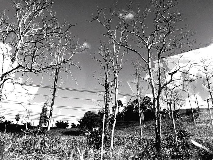 ยืนต้น แห้งตาย