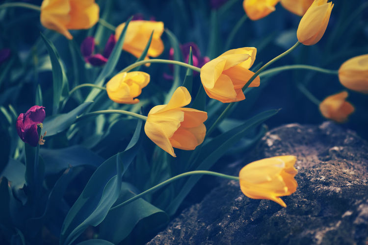 Beautiful fairy dreamy magic yellow tulip flowers with colorful bokeh