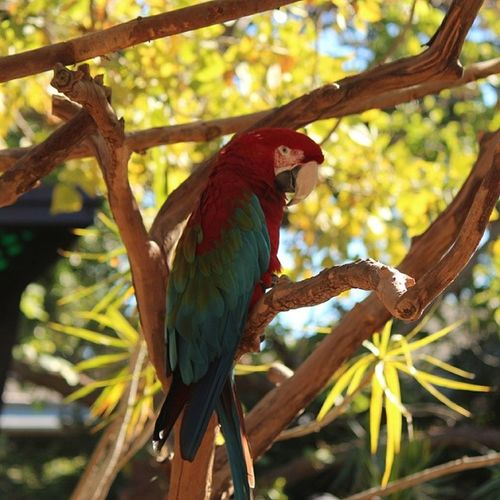 Macaw Tropicalmacaw Parrot Sandiego wildlifephotography canonphotography tagsforlikes california photography tag4likes