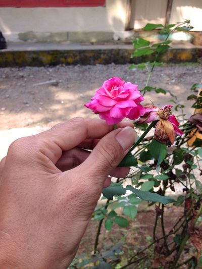 My hand with rose flower Flower Pink Color Fragility Petal Freshness Close-up Nature Human Hand Beauty In Nature Holding Outdoors Growth Plant Flower Head Day Human Body Part One Person People Rosé Rose Flower Red Rose