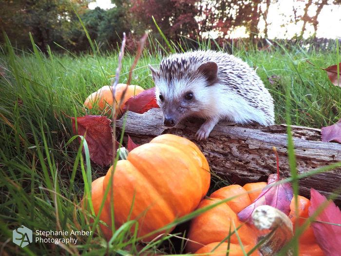 Close-up of pumpkins in grass
