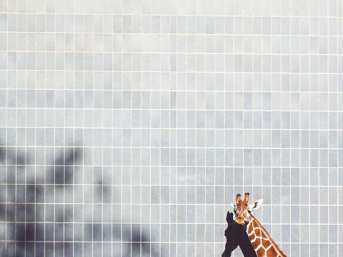 Giraffe against wall