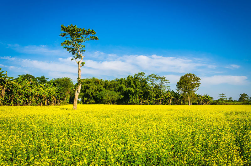 Sarson Ke Khet - Mustard Fields Agriculture Beauty In Nature Blue Crop  Day Field Flower Green Color Growth Idyllic Landscape M Nature No People Oilseed Rape Outdoors Plant Rural Scene Sarson Ke K Scenics Sky Tranquil Scene Tree Yellow