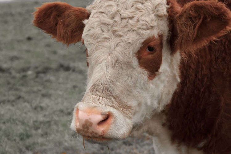 Close up of curly hereford cow
