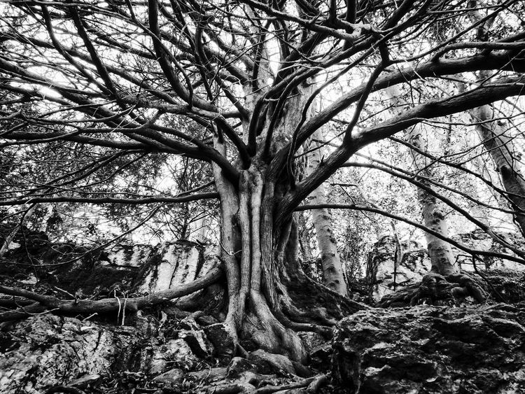 Bare Tree Beauty In Nature Black & White Black And White Branch Curraghchase Day Forest Growth Ireland Landscape Lone Nature No People Outdoors Root Scenics Tranquility Tree Tree Trunk