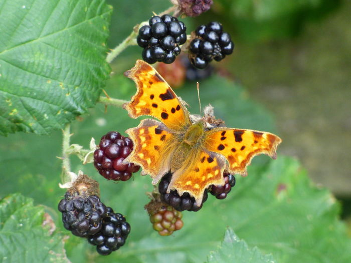 Animals In The Wild Blackberries Butterfly Butterfly - Insect Butterfly And Blackberries Butterfly Collection Butterfly ❤ Ragged Wing Comma Raggedwingcomma