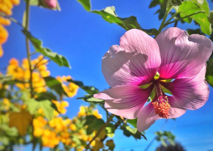 Flower Nature Pink Color Fragility Petal Beauty In Nature Close-up Sunlight No People Outdoors Day Blooming Flower Head Nature In The City Outdoor Photography Pollen The Great Outdoors - 2017 EyeEm Awards Sommergefühle The Great Outdoors - 2018 EyeEm Awards