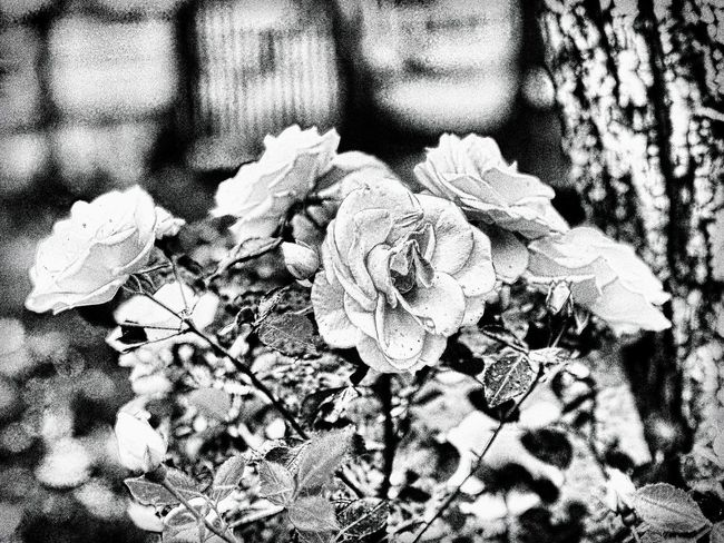 Silver Roses. Silver  Roses
