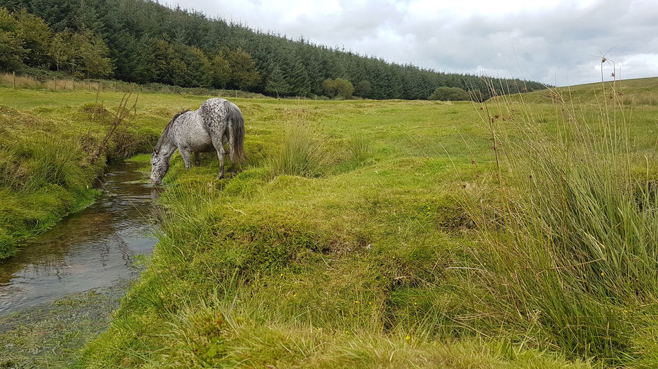 Pony Drinking Pony Pony Drinking Roughtor Animal Themes Bodmin Moor Landscape Nature No People One Animal Outdoors