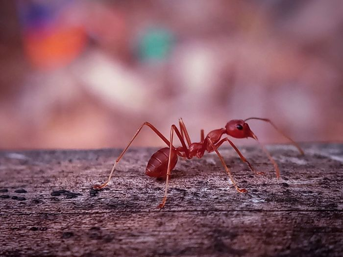 Animal Animal Themes Animal Wildlife Animals In The Wild Ant Close-up Focus On Foreground Insect One Animal Outdoors Red Selective Focus