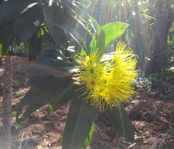 Yellow Flower Flower Growth Nature Plant Fragility Freshness Yellow Day Outdoors Petal Sunlight Leaf Beauty In Nature Flower Head No People Blooming Close-up Garden Photography EyeEmNewHere The Week On EyeEm Paint The Town Yellow Beauty In Nature Big Island